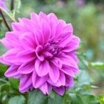 紫色の花を贈りたい人必見!贈り物にオススメの紫色の花をご紹介!