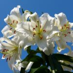 白色の花を贈る~贈り物にオススメの白色の花を定番・季節別に紹介~