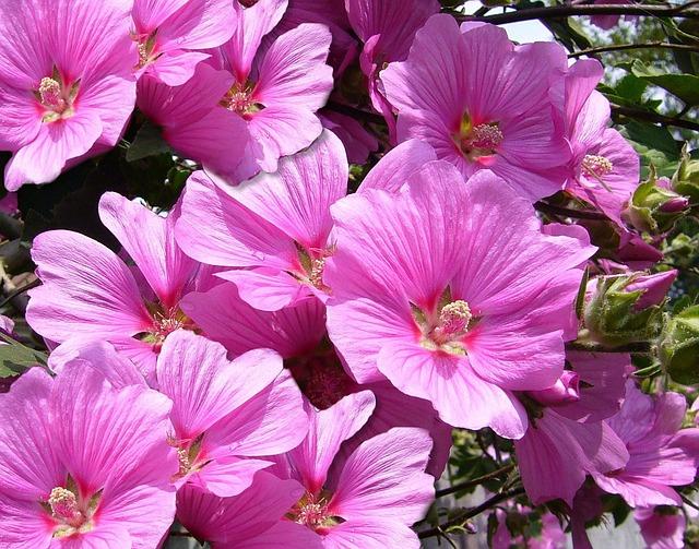 銭葵(ゼニアオイ) 花言葉